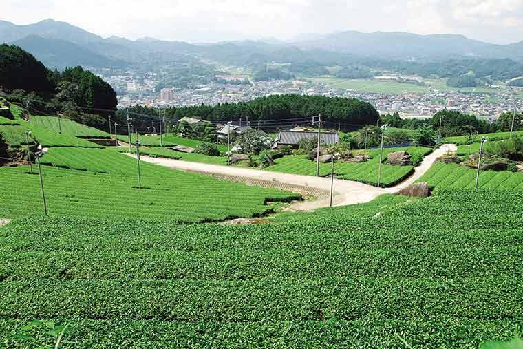 嬉野の茶畑