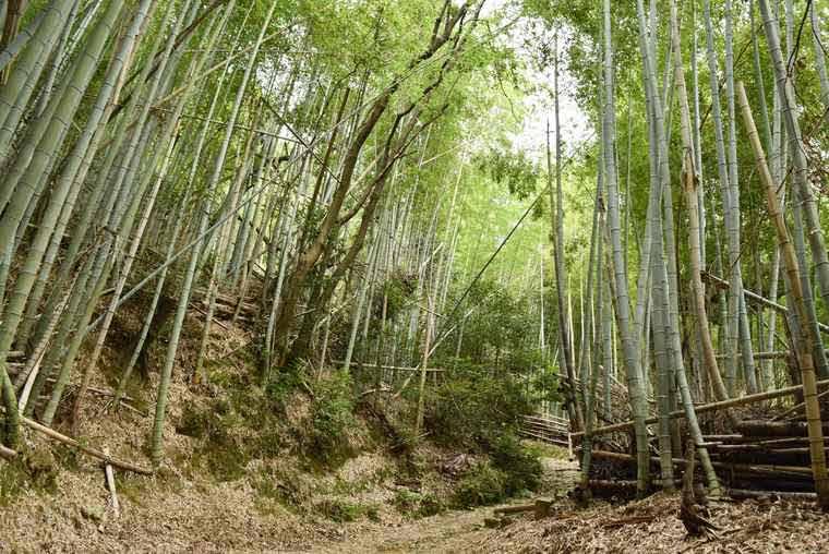 天王山ハイキングコースの竹林