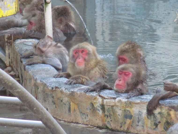 湯の川温泉 函館市熱帯植物園 温泉に入るサル