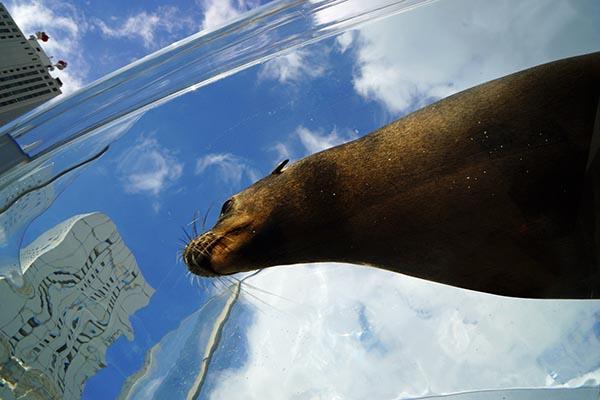 アシカが空を飛ぶように泳ぐ「アクアリング」