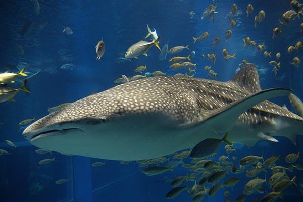 巨大なサメを、上からも下からも鑑賞できる
