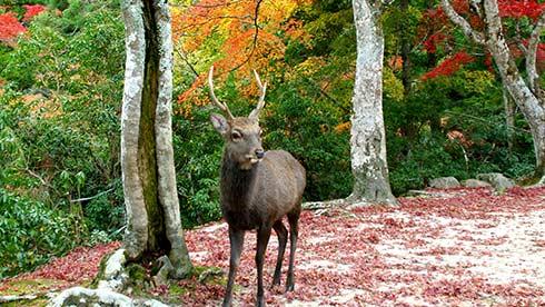 宮島の紅葉と鹿