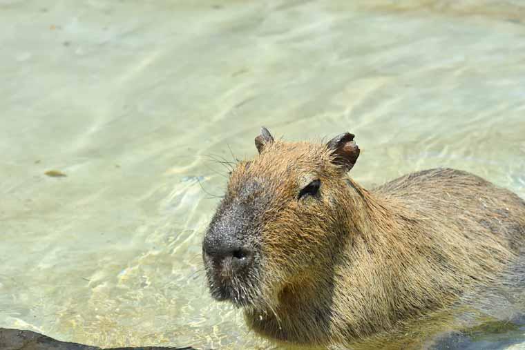 伊豆シャボテン動物公園のカピバラ