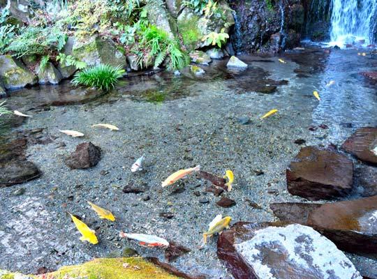 箱根湯本 玉簾の滝前の池