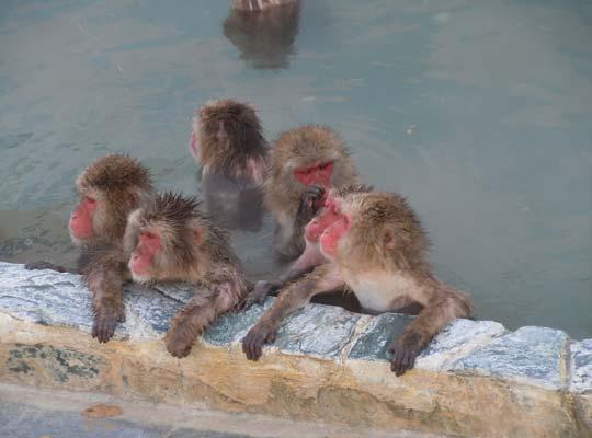 函館温泉・湯の川温泉 温泉に入るニホンザル