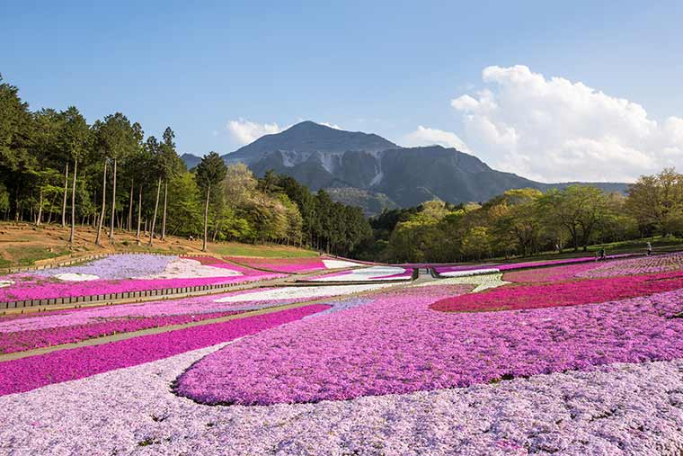 秩父 羊山公園 芝桜の丘