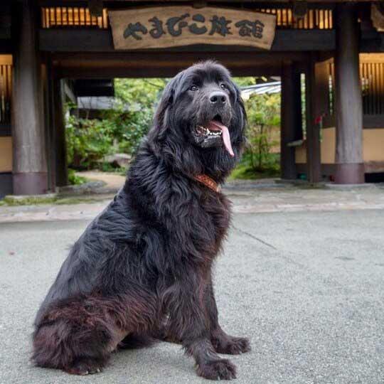 黒川温泉 やまびこ旅館 看板犬・ウメ