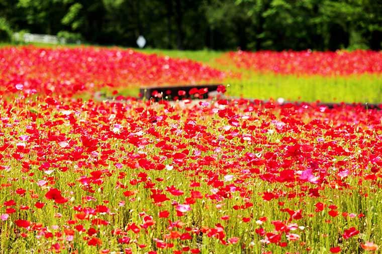 御所湖広域公園 春のポピー