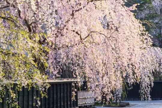 角館 桜まつり