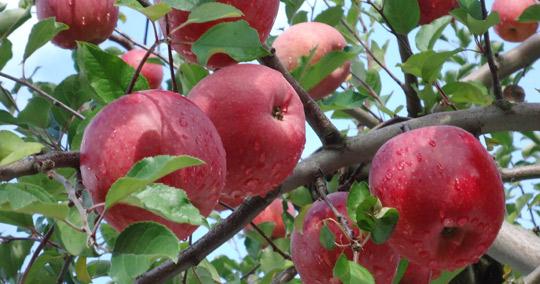 板柳町りんごもぎとり体験