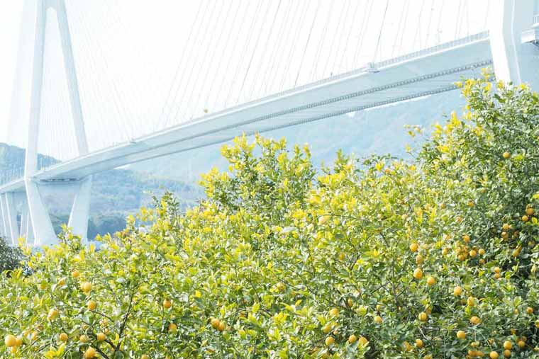 瀬戸田レモン畑