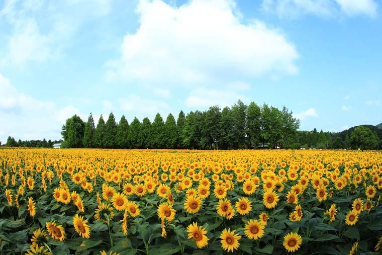 世羅高原農場 ヒマワリ畑