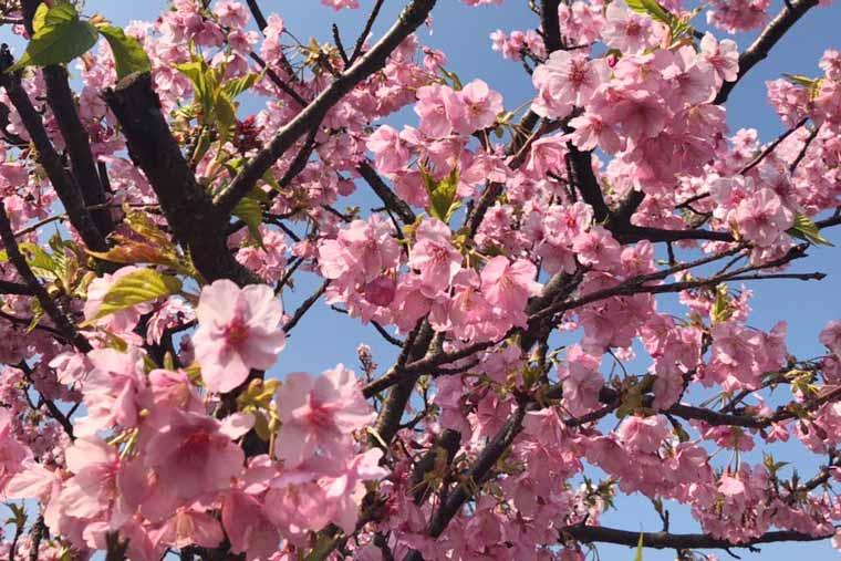 福ふくの里 河津桜