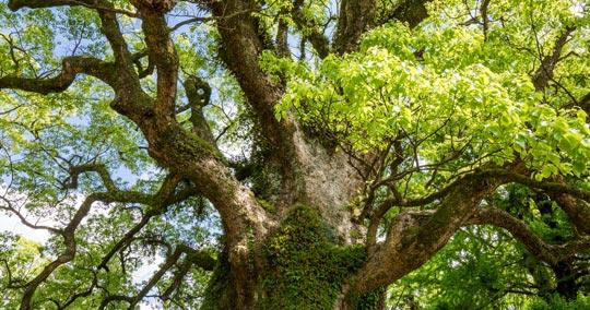 蒲生の大楠 日本一の巨樹