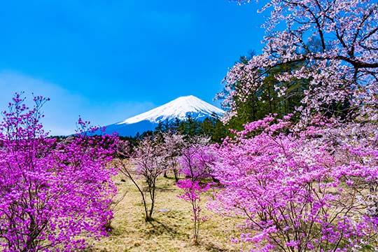 河口湖富士桜ミツバツツジまつり