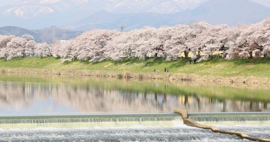 白石川堤一目千本桜