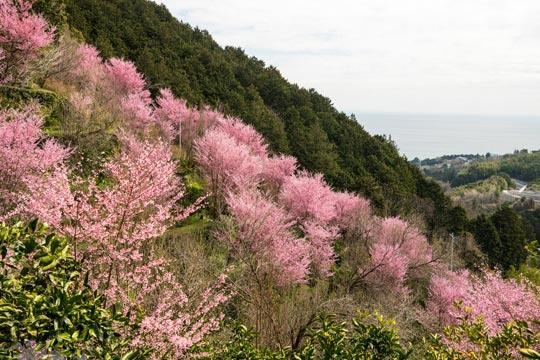 おかめ桜の里