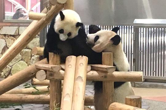 南紀白浜アドベンチャーワールド パンダ