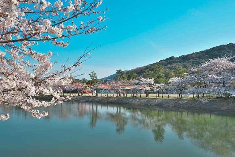 宇治川上流の桜