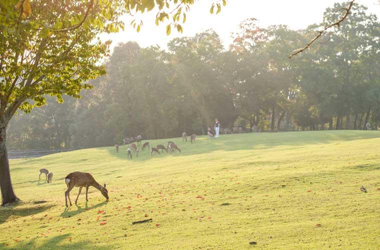 奈良県 奈良公園の鹿