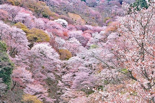奈良県 吉野の桜