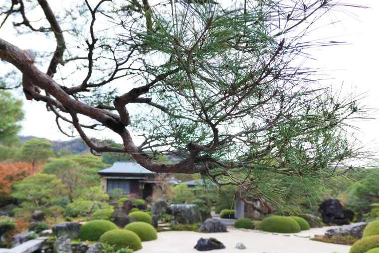 足立美術館の池庭の松