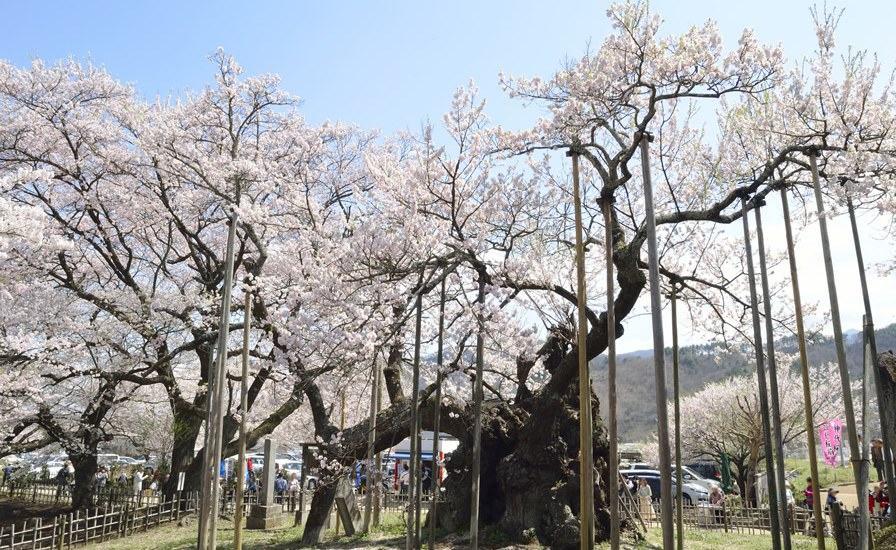 Jindai Zakura (préfecture de Yamanashi)