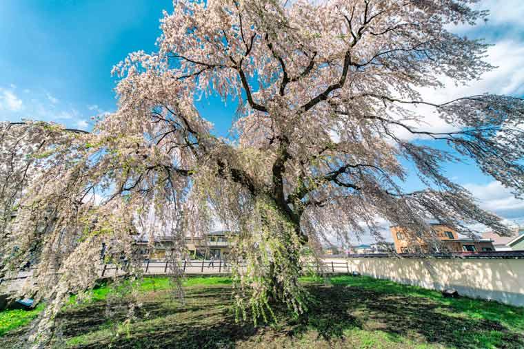 法亀寺(ほうきじ)のシダレ桜