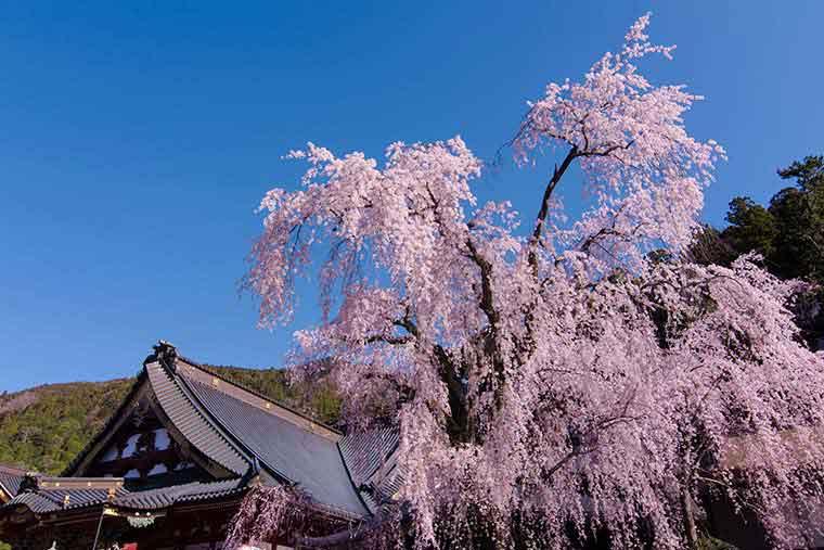 身延山久遠寺の桜