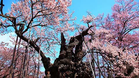 【2020年】甲信越の桜名所9選!お花見・夜桜ライトアップ情報