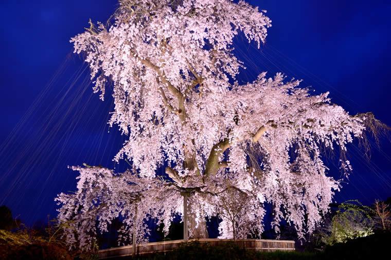 円山公園の桜 ライトアップ
