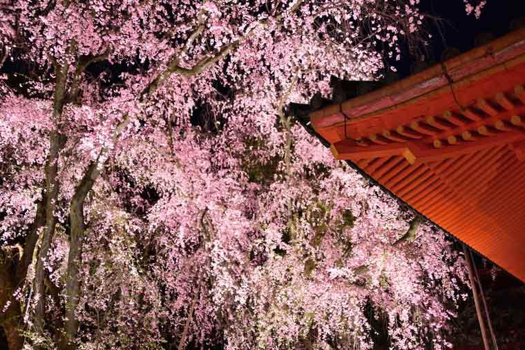 平安神宮の桜 ライトアップ