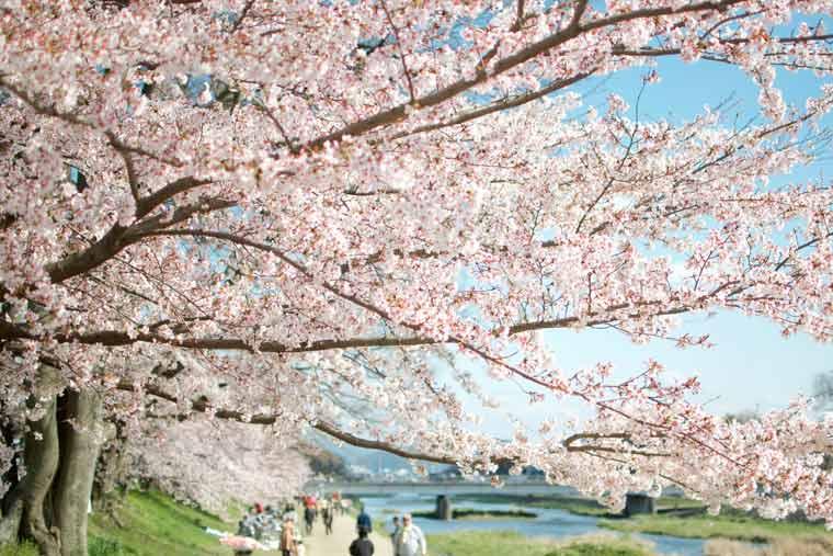鴨川 河川敷の桜
