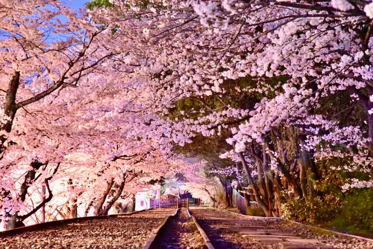 蹴上インクラインの桜 ライトアップ
