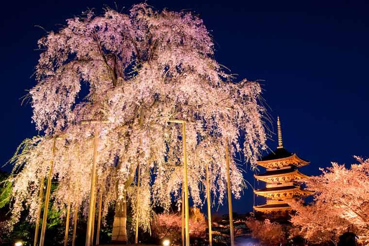 東寺の桜 ライトアップ