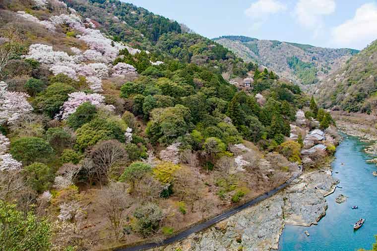 保津峡 桜