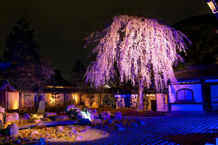 高台寺の桜 ライトアップ