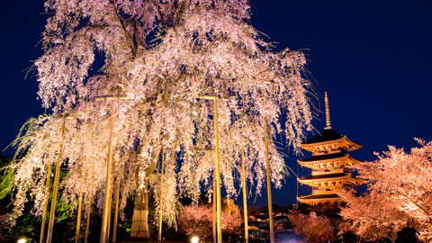 京都桜の名所 お花見スポット20選!桜まつり・ライトアップ情報2019