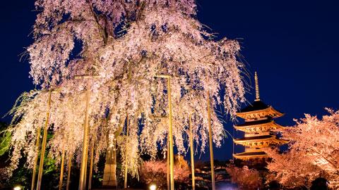 2018年開花予想も!京都桜の名所 お花見スポット15選