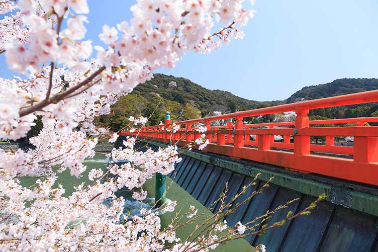宇治橋 桜