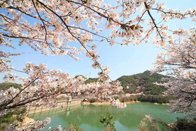 永楽ダムの桜