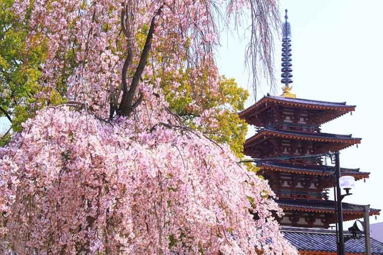 四天王寺の桜