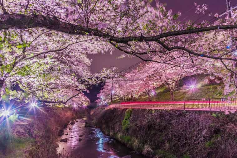 山中渓(やまなかだに)の桜 ライトアップ
