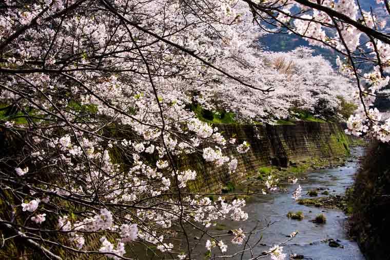 山中渓(やまなかだに)の桜