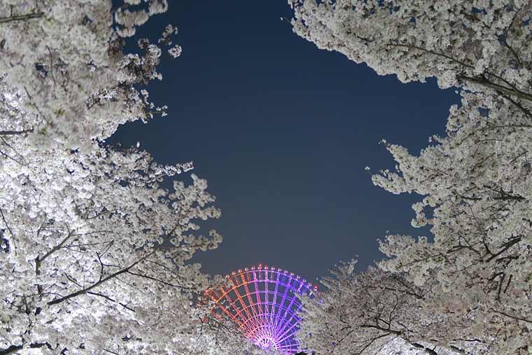 万博記念公園 夜桜