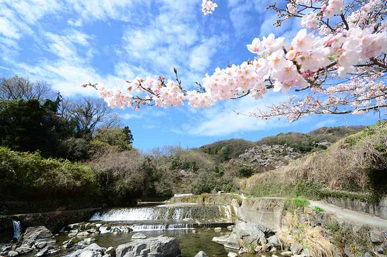 摂津峡公園の桜