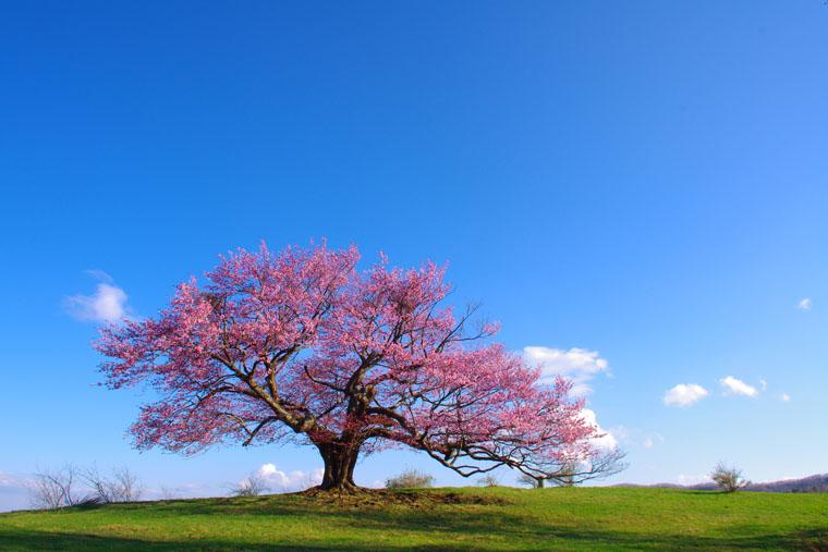 亀ヶ森牧野の一本桜