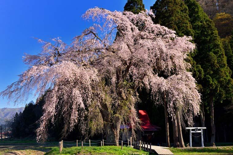 おしら様の枝垂れ桜