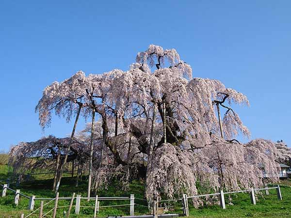 The Miharu Takizakura Cherry