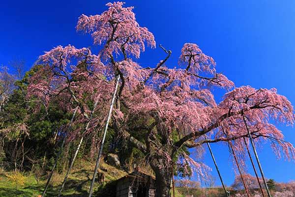 The Benishidare Jizo-zakura Cherry
